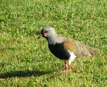 Southern Lapwing in the sculpture garden