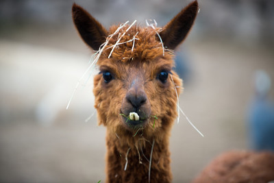 llama at the vineyard