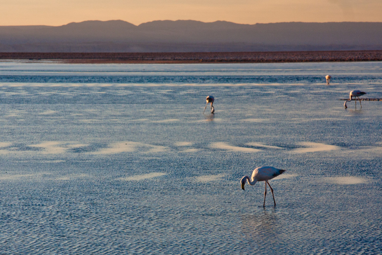 Tierra Atacama flamingos