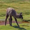 Llamas_2089_20160303