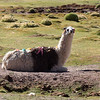 Llamas_2063_20160303