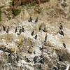 Colony of Red-legged Cormorants, Monumento Natural Islotes de Puñihuil, Puñihuil, Chile