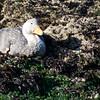 Magellan Flightless Steamer Duck, Monumento Natural Islotes de Puñihuil, Puñihuil, Chile