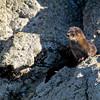 Sea Otter, Monumento Natural Islotes de Puñihuil, Puñihuil, Chile