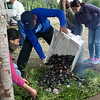 Adding Mussels for the Curanto, Pargua, Chile