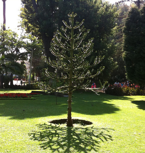 Young Norfolk Island Pine and shadow