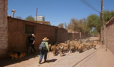 Schaapskudde door de straten van San Pedro. San Pedro de Atacama, Chili.