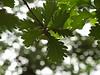 Oak trees??