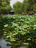 There were many Lotus plants
