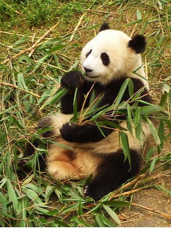panda at the China preserve in Chendu