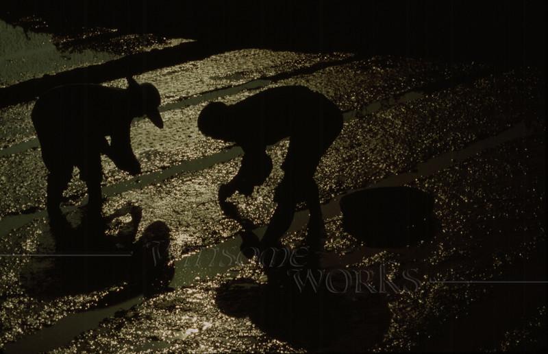 Rice-planting at dusk