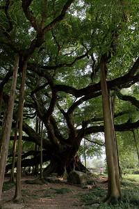 Around Yangshou: The Big Banyan Tree