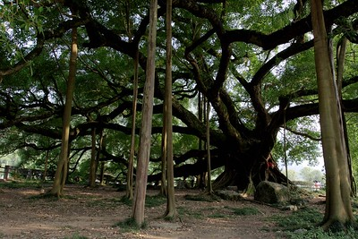 Around Yangshou: The Big Banyan Tree is about 6 kilometres from Yangshou. This tree is about 1,500 years old.