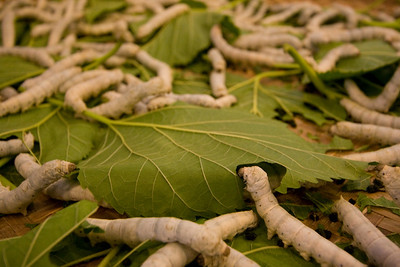 Silkworms and mulberry leaves
