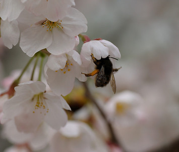 Early Spring in Xi'an - the tree was so full of bees, it was humming!