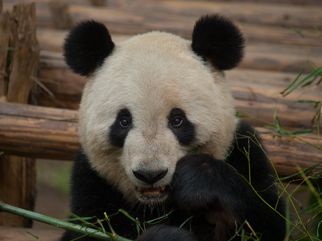 An afternoon snack of bamboo..... what else is on the menu? - more bamboo of course!<br /> Click on >China 2010 at the top of this page and open the Panda gallery for more.<br /> Sandstorm today Tuesday, visibility poor within Chengdu, we catch a train tonight to Gueyang