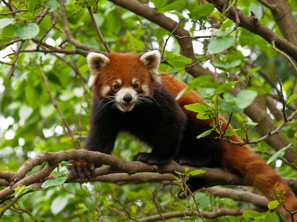 The red pandas were considerably more active than their white cousins; much smaller and dog like in many of their activities with the added bonus of being adroit tree climbers.  They were not interested in bamboo, eating root vegetables when we visited.