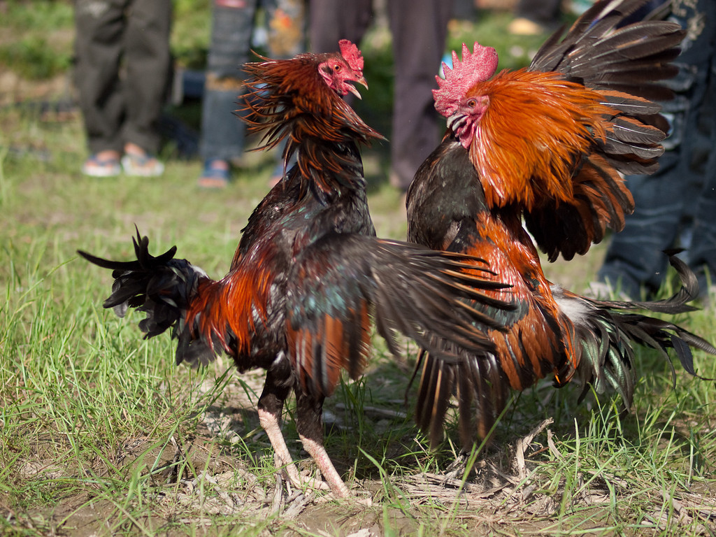 ... a new line in Free-Range hens? Cock and Bull fighting at a village 'fete'.