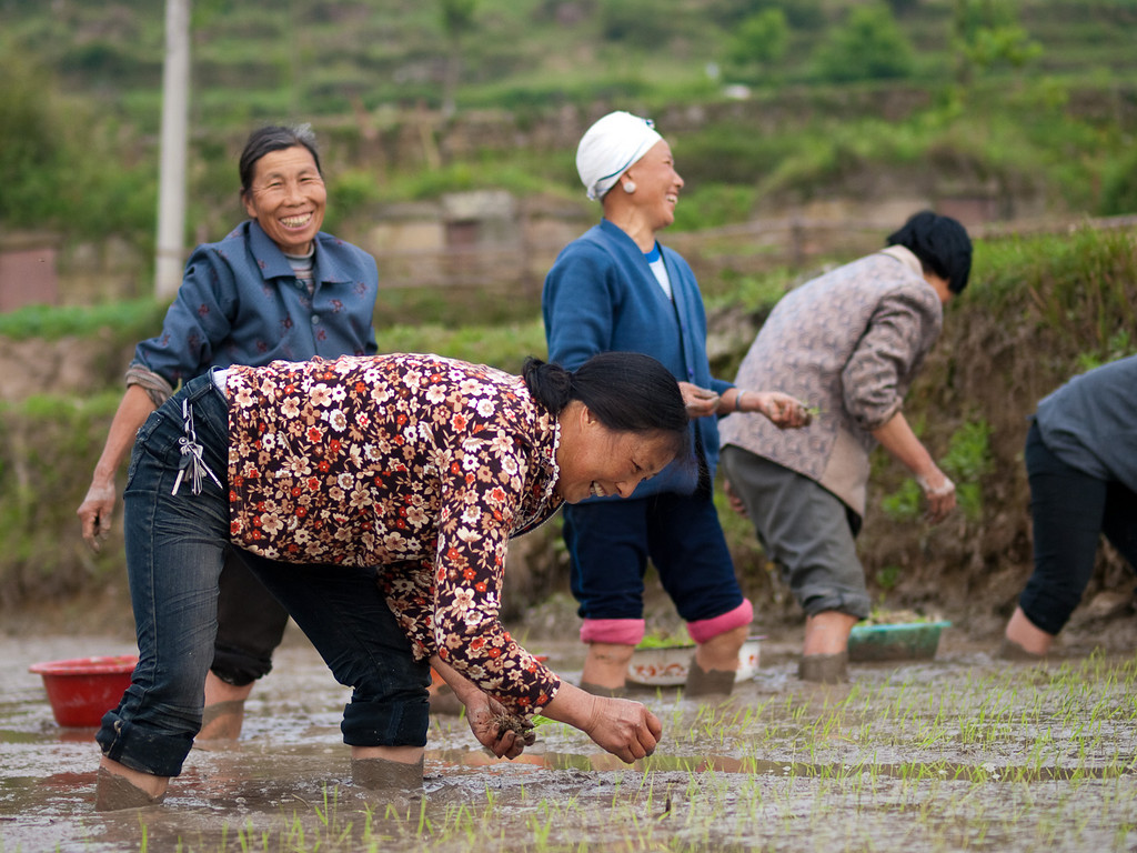 The rice planters thought our appearance on the edge of their terrace hilarious but carried on regardless. Planting would probably take all morning …. standing in the mud bent at the hips … obviously no health and safety executive has advised about back care!  (more pics in > China 2010 > People: as we found them)