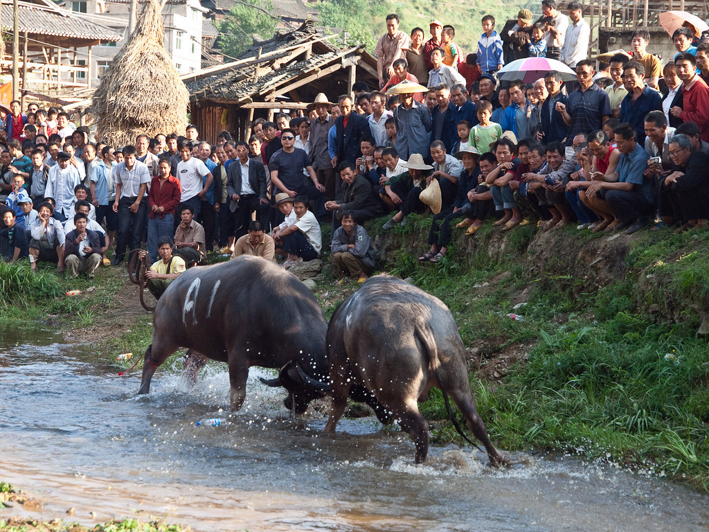 The crowd is entertained! ….. no safety barriers here..... there was the added enjoyment I suppose of being part of the action .........  as a buffalo decided to leave through the middle of them… no one got injured but it was amazing how fast they move when a few tons of buffalo decides on a detour.!