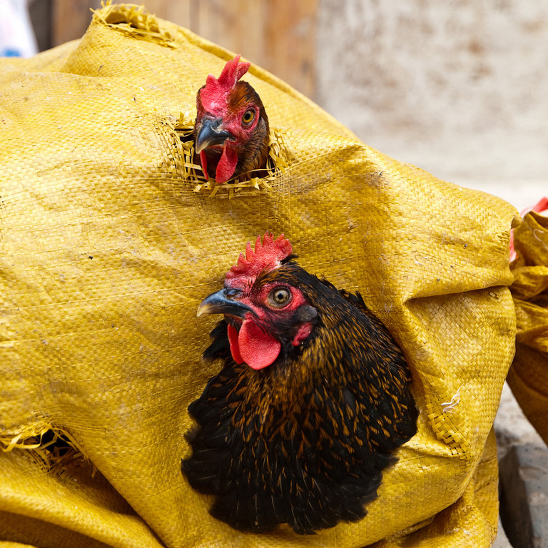 I've heard (and had) chicken in a basket - usually with chips! <br /> These (there were about 5) were chicken in a bag! We had watched them being weighed and purchased in the market an hour before, next time we saw them they were rolling around as each tried to be on top and get its head out of a hole. Their new owner was eating a hearty breakfast nearby.