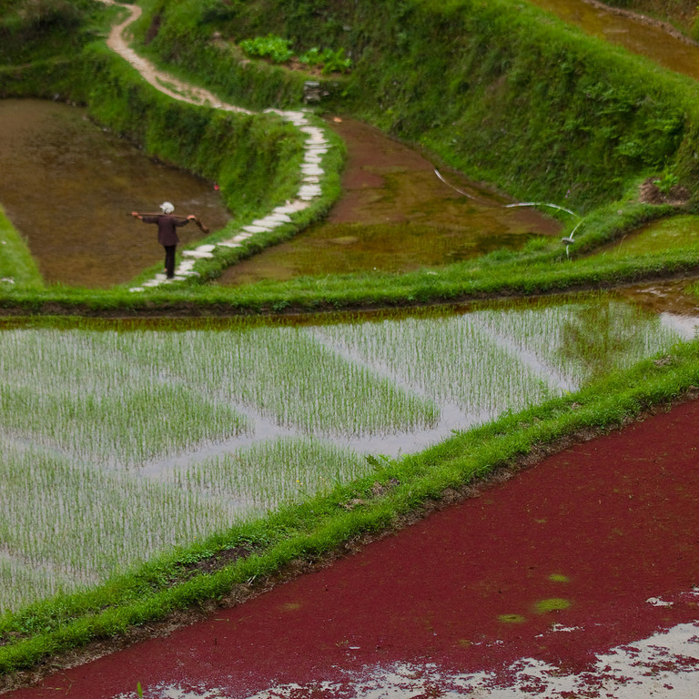 The rice terraces above Zhaoxing. <br /> The red is 'duckweed' which will be harvested for the pigs (who in return supply some of the nutrients).<br /> The cycle for a rice paddy starts in spring with flooding then ploughing in organic waste (manure), then the paddy is reduced to a fine squelchy and very level surface, after this planting rice occurs (can be sprinkled seed but often as germinated seedlings) . There may be a transplanting phase where seedlings are thinned for a more effective crop; harvesting  is about three months later. The paddy is then flooded again, fish (in some paddies) and  'nutrients' are added so the duckweed grows whilst the rice stalks and 'fertiliser' rot beneath the water, then it's time for the cycle to start again (after the fish have been eaten or moved and the pigs have had their fill!)