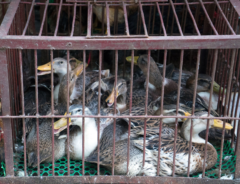 Ducks for Sale