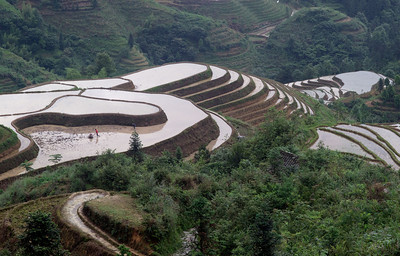 RIce fields being prepared for planting in a week