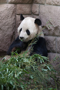 Giant Panda eating eucalyptus leaves at the Beijing Zoo.