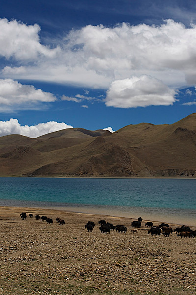 The Tibetan Plateau with yaks in the foreground inTibet, China, This was taken during a stop on a long overland road journey, somewhere between Lhasa and Everest Base Camp.