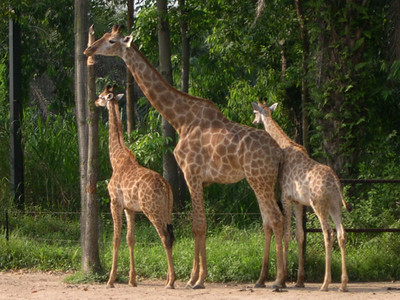 More giraffes!