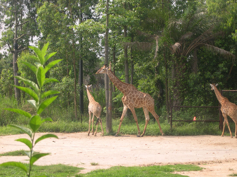 Giraffes at the Chime Long Night Zoo