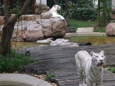 White tigers at breakfast