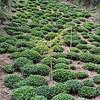 Tea plantation close to Moon pond, in Hongcun Village, Anhui Province China