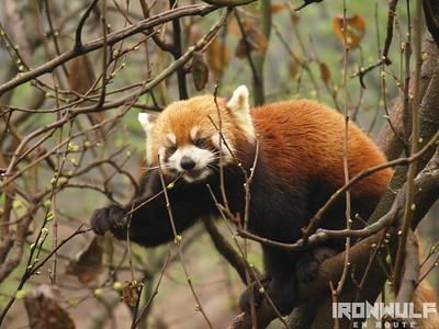 Panda Research Center Red Panda