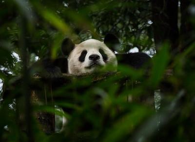 [ Bifeng Panda Reserve-_WP_0868-]_