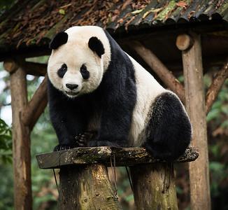 [ Bifeng Panda Reserve-_WP_0839-]_