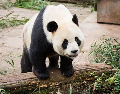 [ Bifeng Panda Reserve-_WP_0856-]_