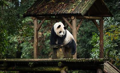 [ Bifeng Panda Reserve-_WP_0851-]_
