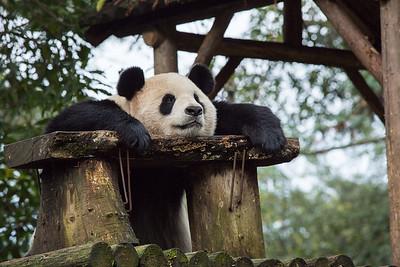 [ Bifeng Panda Reserve-_WP_0866-]_