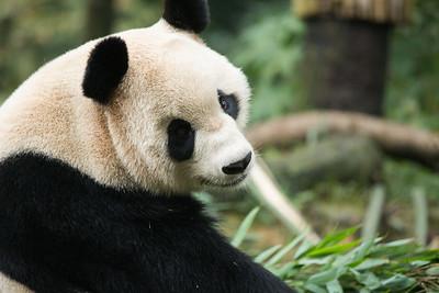 [ Bifeng Panda Reserve-_WP_0820-]_