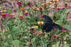 China-3553<br /> Butterfly in field in Xidi Village, China