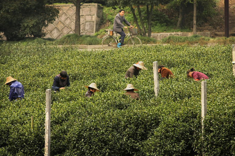 Green Tea Plantation - Hangzhou, China