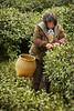 Green Tea Picker - Hangzhou, China