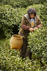 Green Tea Picker - Hangzhou, China