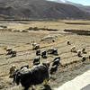 Goats trying for Tibet traffic