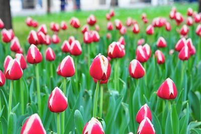 Tulips at Zhongshan Park