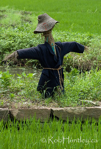 Scarecrow in a rice paddy.