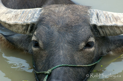 Water buffalo on a rural farm near Wuzhen, China. © Rob Huntley