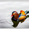 A beautiful Mandarin duck swimming in one of the lakes in the Summer Palace grounds in Beijing